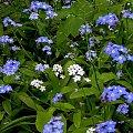 Ocipiałe? osiwiałe? Kto to widział?! Niezapominajki białe?! #niezapominajka #kwiat #biel