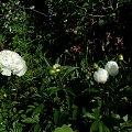 Duchesse de Nemours #kwiaty #ogródek #peonie #róże