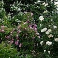 NN i Utersen Kloster Rose #kwiaty #odród #róże