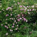 NN #kwiaty #ogród #róże