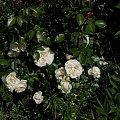 Lion Rose #kwiaty #ogród #róże