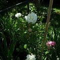 biała New Dawn #kwiaty #ogród #róże