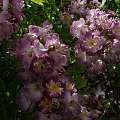 Veilchenblau #kwiaty #ogród #róże