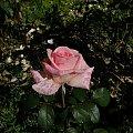 Jubilat #kwiaty #ogród #róże