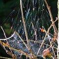 Pajęczyna w lesie #pająk #pajęczyna #las