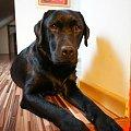 mika #suka #labrador #mika #zaginęła #suwałki #pies