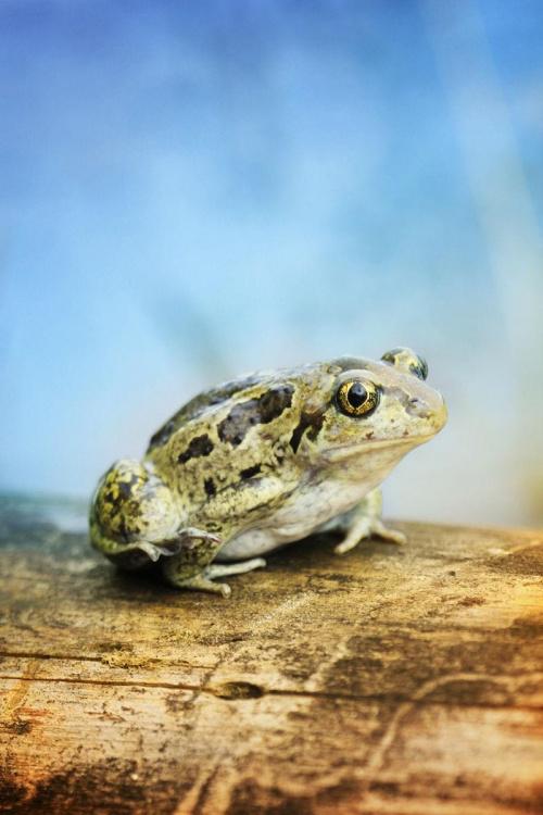 dla ochłody zrób jak żaba skocz do wody... #żaba #płaz #grzebiuszka