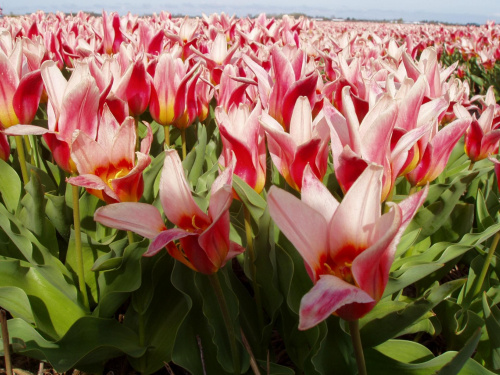 Tulipany #tulipany