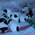 Panda #szczenięta