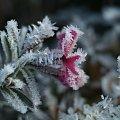 Przymrozek... #kwiat #mróz #szron #zima