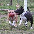 #amstaff #pies #zabawa