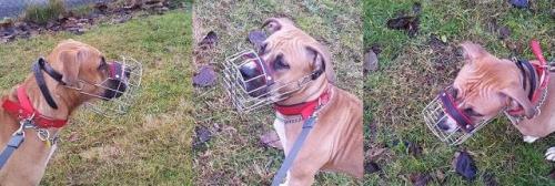 #boxer #CHOPO #fizjologiczny #kaganiec #pies