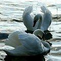 #łabędzie #ptaki #jezioro