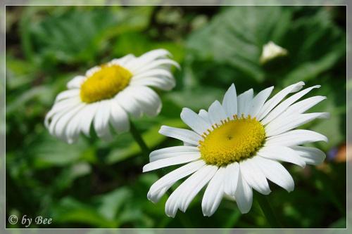 #kwiaty #lato #margaretki #ogród