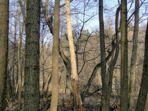 Z oddali wyglądało,że bobry ogryzły korę na wysokość kilku metrów.Tylko jak one tam wlazły?