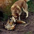 to była prawdziwa walka #pies #dog