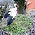 Para bocianów na gnieździe w Przygodzicach #bociany #Przygodzice #ptaki