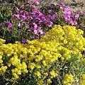 #bratki #kwiaty #ogród #rośliny