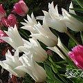 kwiaty 2014 #tulipan #tulipany #TulipanyLiliokształtne #Sapporo #TulipanySapporo