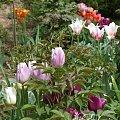kwiaty maj #tulipan #tulipany #rabata