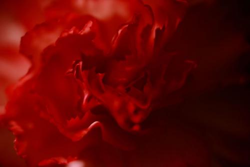 Pełna gama odcieni czerwieni- kwiat