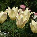Maj 2014 #tulipan #tulipany #TulipanyLiliokształtne #TulipanElegantLady